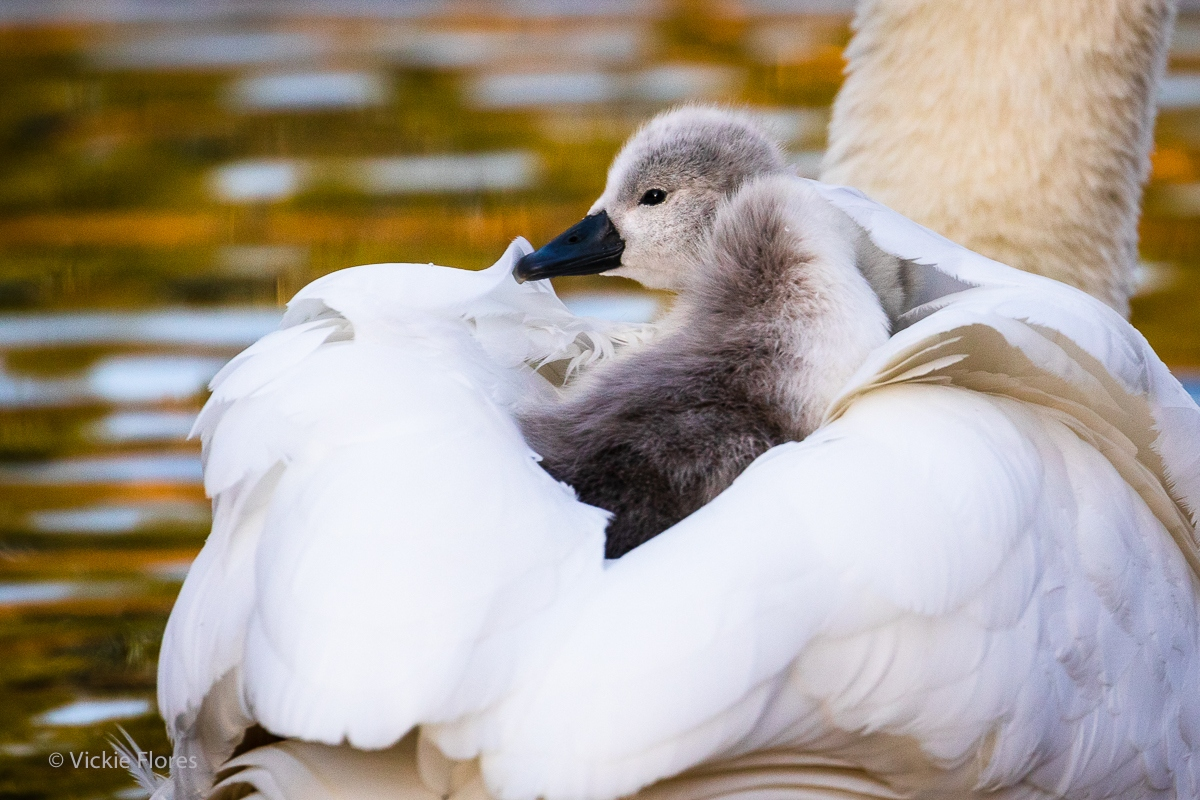 A swan cygnet rides on its mothers back as she swims on the canal in Wapping